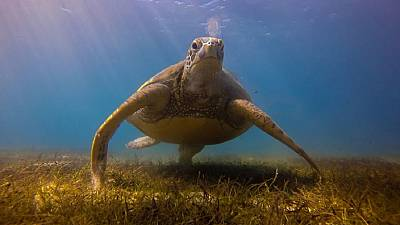 Le « Gulf Green Turtle Conservation Project », le projet de conservation des tortues vertes