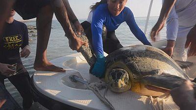 Grüne Meeresschildkröten: Überlebenskünstler im Persischen Golf
