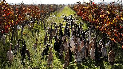 Mighty ducks protect vineyard farm in South Africa
