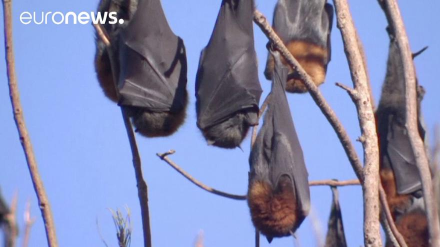Australian town plagued by over 100,000 bats