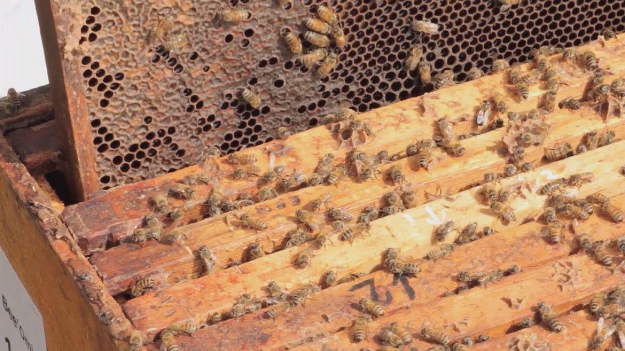 Científicos canadienses luchan contra la desaparición de las abejas