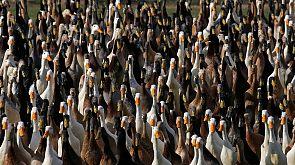 Weingut setzt auf Enten statt auf Pestizide