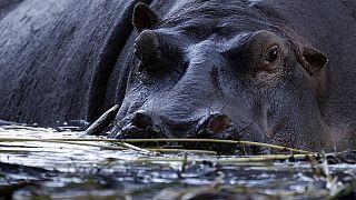 Killer hippos force Senegal fishermen to desert River Gambia