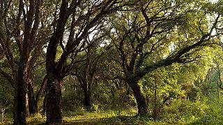 Cameroun : exploitation illégale des forêts