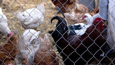 Cameroun: cinq mesures pour tuer l'épidémie de grippe aviaire dans l'œuf