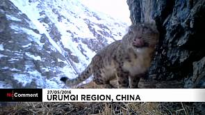 Graban leopardos de las nieves en China