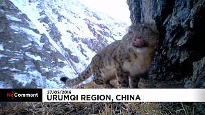 Raras imagens de leopardos das neves na China