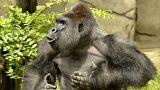 Beesett egy kisgyerek a gorillához - lelőtték az állatot