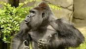Gorilla shot dead after playing with toddler who fell into enclosure
