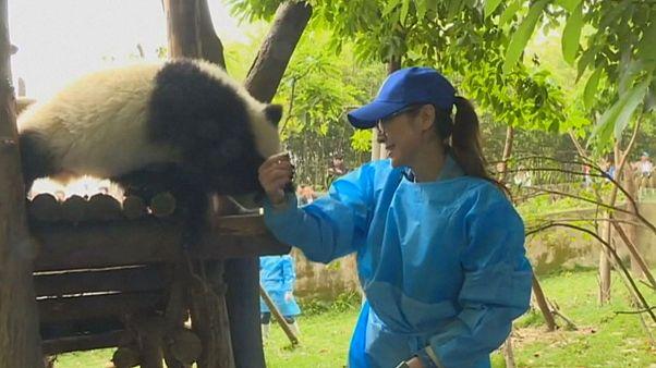 A panda és a filmsztár