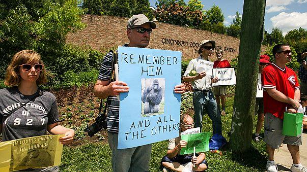 Erschossener Gorilla: Polizei von Cincinnati leitet Ermittlungen ein