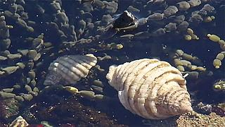 Cientistas estudam conchas dos caracóis marinhos em busca de cura contra o cancro