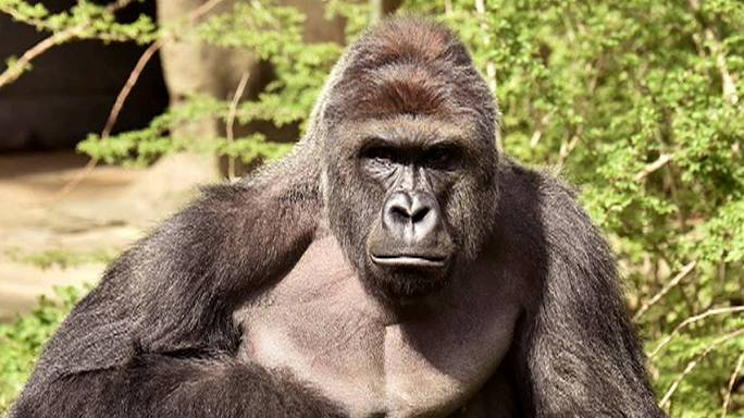 Gorillas are the Good Guys