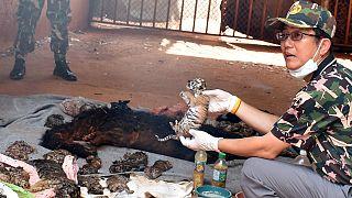 العثور على جثث أشبال نمور في معبد تايلاندي