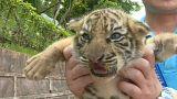 Um tigre, dois tigres...