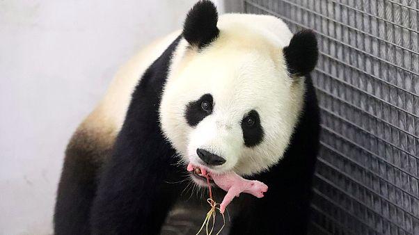 """الباندا الصينية """"هاوْ هاوْ"""" تُندب ذَكرًا في حظيرة حيوانات بلجيكية"""