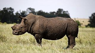 Namibia bids for trophy hunters to kill 3 endangered black rhino species
