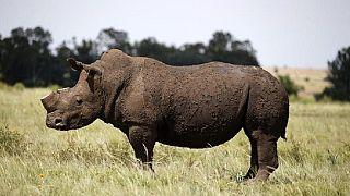 Namibie : des enchères pour tuer trois rhinocéros noirs