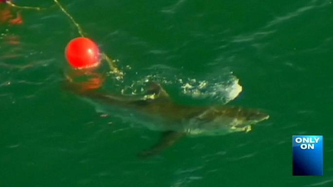 Австралия: два человека за неделю стали жертвами большой белой акулы