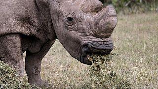 """Une organisation """"Saving the Survivors"""" vient en aide aux rhinocéros blessés"""