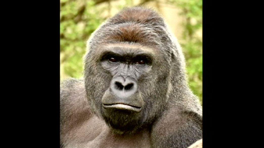 Gorilla-Zwischenfall in Cincinatti: Keine Verfahren gegen Mutter