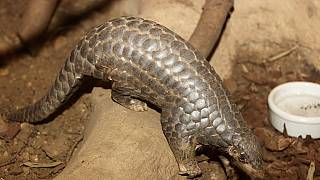 Kenya wildlife officials net 500Kg Pangolin scales consignment en route to Laos