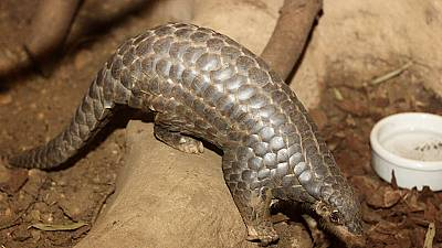 Kenya wildlife officials net 500Kg Pangolin scales consignment en route to Laos