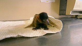 Rare red ruffed lemur born at San Diego Zoo