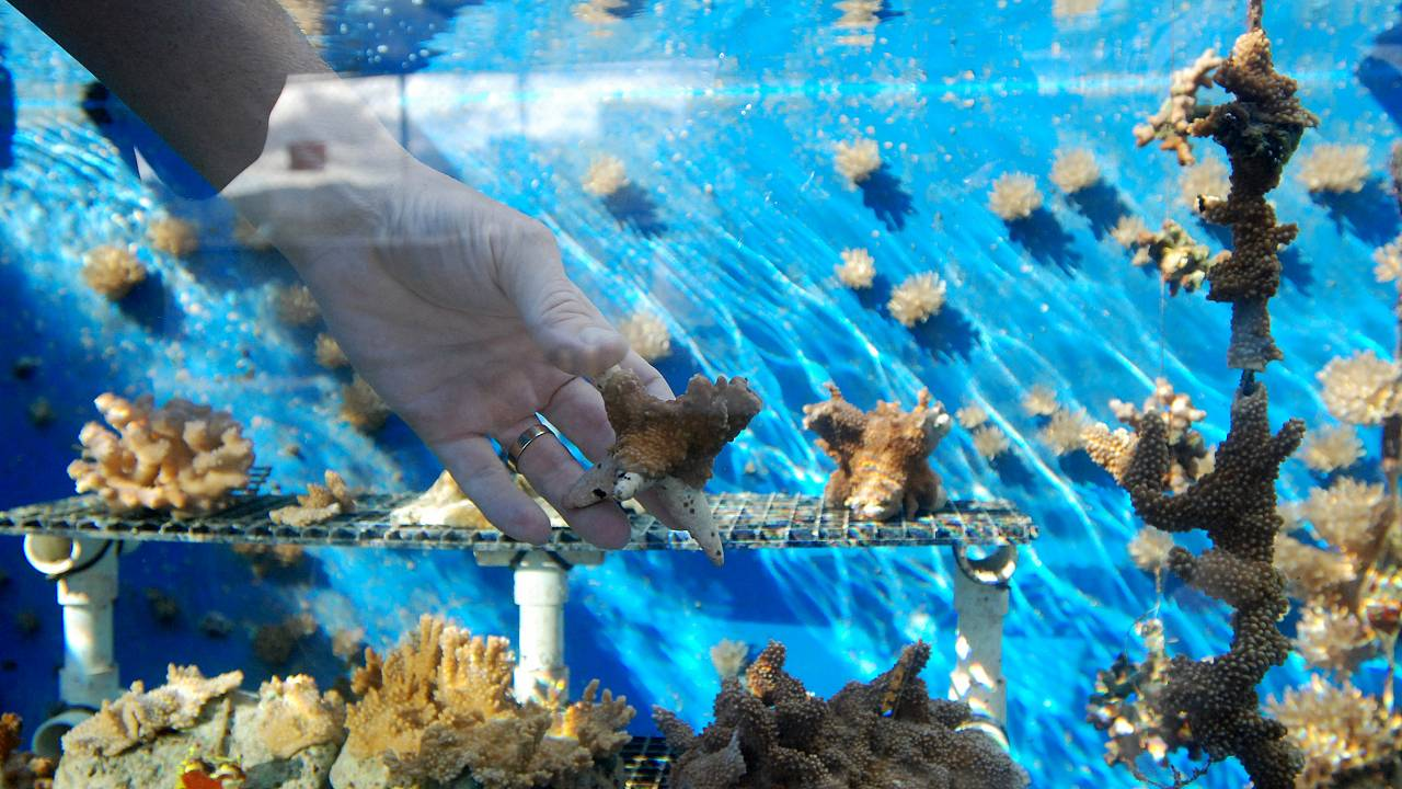 Teaching coral to toughen up could help reefs survive climate change