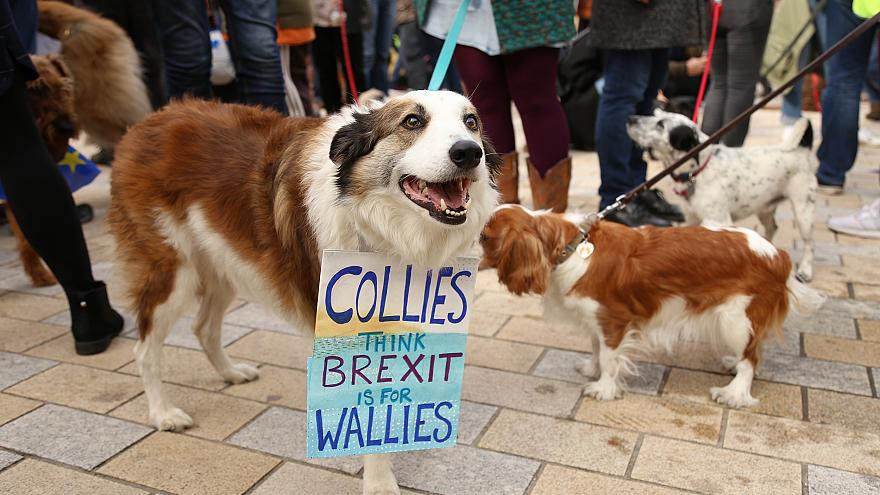 A collie at the Wooferendum in London