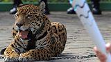 Olimpiyat meşalesi töreninde Jaguar paniği