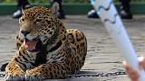 Brasil: Sacrifican a un jaguar que había participado en la llegada de la llama olímpica