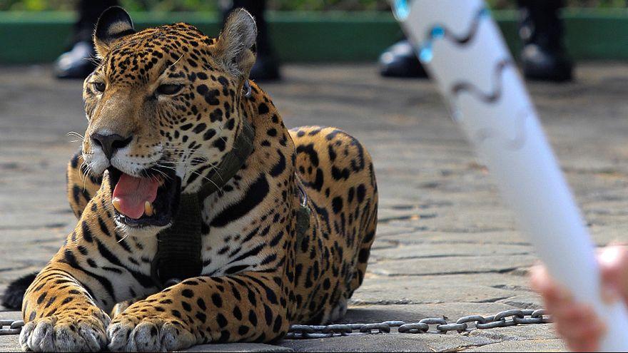 Brasile: ucciso giaguaro-mascotte durante manifestazione pre-Olimpiadi