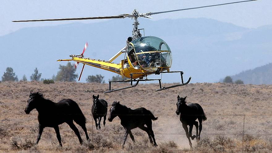 A helicopter herds a group of wild horses toward a large V-shaped trap at D
