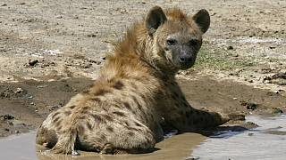 15-year-old boy loses face to hungry hyena in South African park