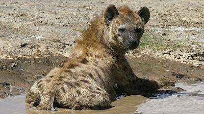 Un adolescent de 15 ans défiguré par une hyène en Afrique du Sud