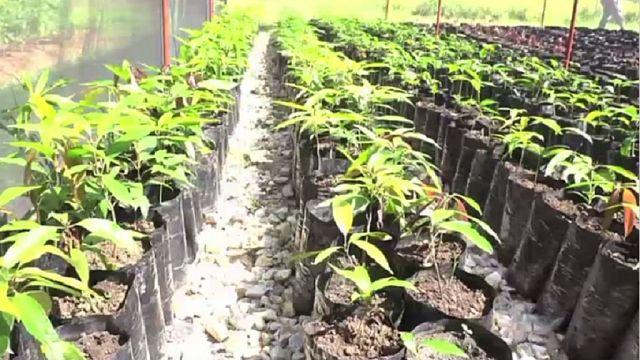 Kenya: West Pokot farmers turn to fruits cultivation