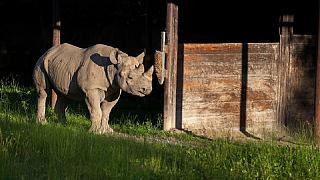 Eastern black rhino transferred from Czech to Tanzanian sanctuary