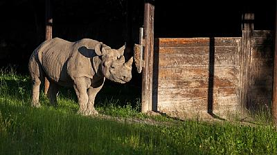 Eastern black rhino transferred from Czech to Tanzanian sanctuary