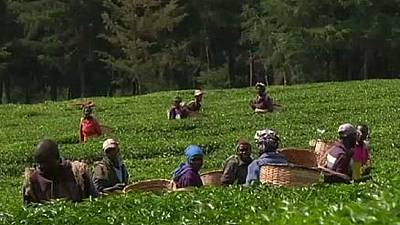 Kenyan tea growers decry high labour costs in the sector
