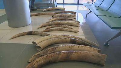 Angola : la lutte contre le braconnage de l'ivoire s'intensifie