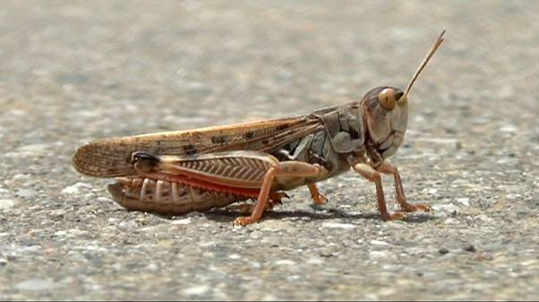 Locust influx causing concern in Russia