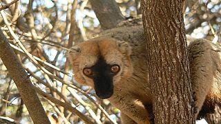 Madagascar : les chercheurs multiplient les initiatives pour sauver les lémuriens