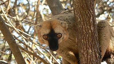 Researchers engage in mission to save Madagascar's lemurs from disappearance