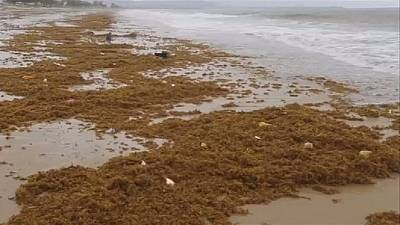 Sierra Leone : les plages envahies par des algues malodorantes