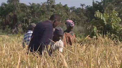 Ouganda : les réfugiés congolais engagés dans la riziculture