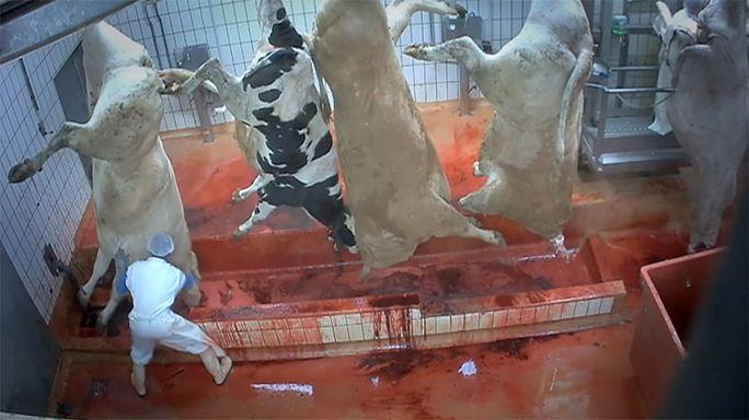 Avrupa'daki kesimhanelerde hayvanlara eziyet mi ediliyor