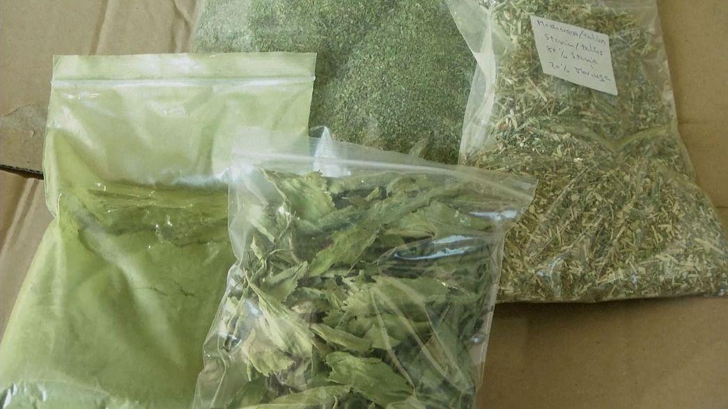 Tatlı bitki stevia
