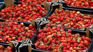 South African farmer grows cold-loving strawberries in warm KwaZulu-Natal