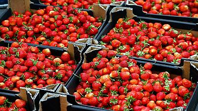 South African farmer grows cold-loving strawberries in warm KwaZulu-Natal